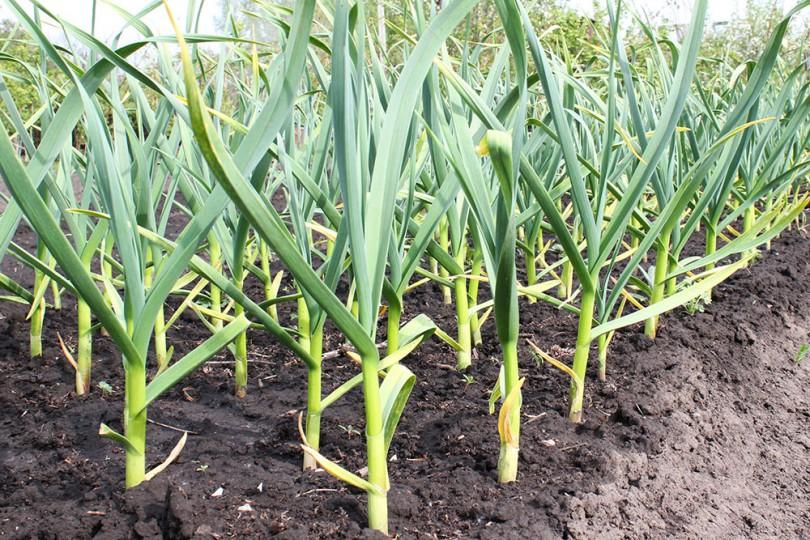Cómo plantar ajo