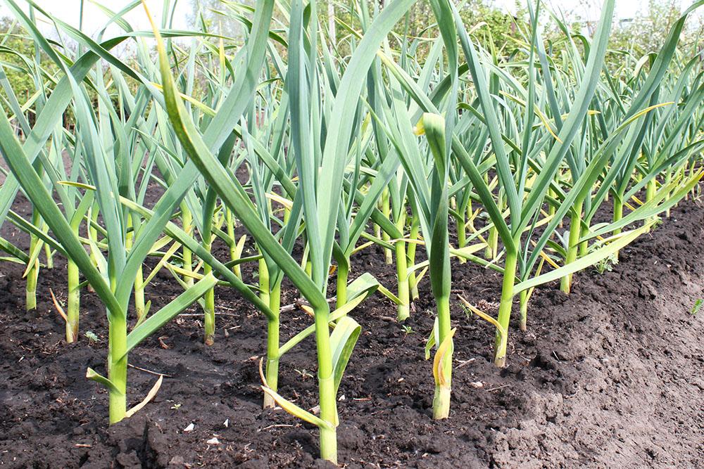 C mo plantar ajo el huerto urbano - Cultivar plantas aromaticas en casa ...
