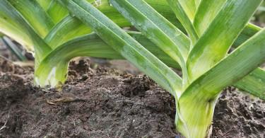 Cómo plantar puerro
