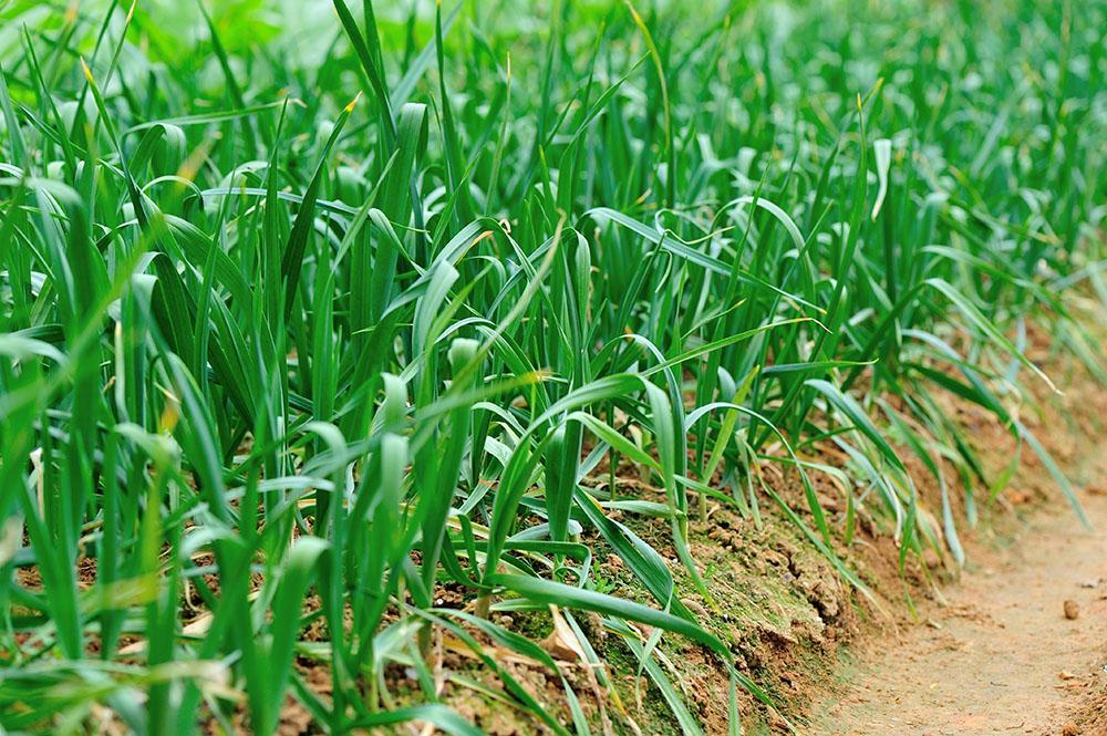 Cultivo de la cebolleta
