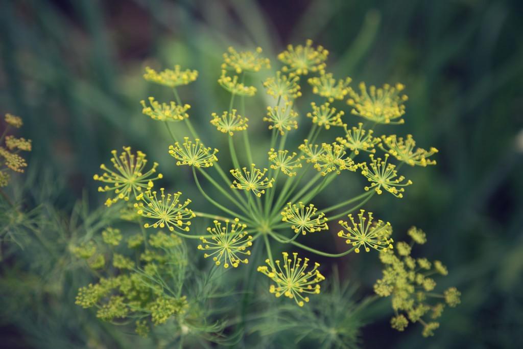 El eneldo es muy decorativo y sus flores son amarillas