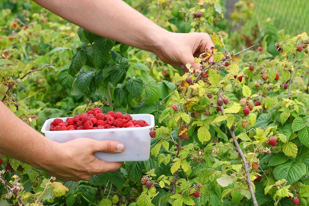 La recolección de frambuesas es en verano u otoño. Se consumen frescas o se pueden congelar.