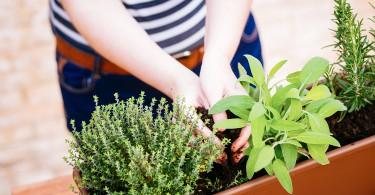sembrar-planta-aromatica