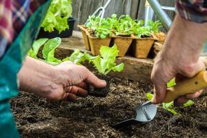 Transplante de plantas