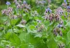 Cómo plantar borraja en nuestra jardín de aromáticas