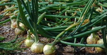 Cómo plantar cebolla