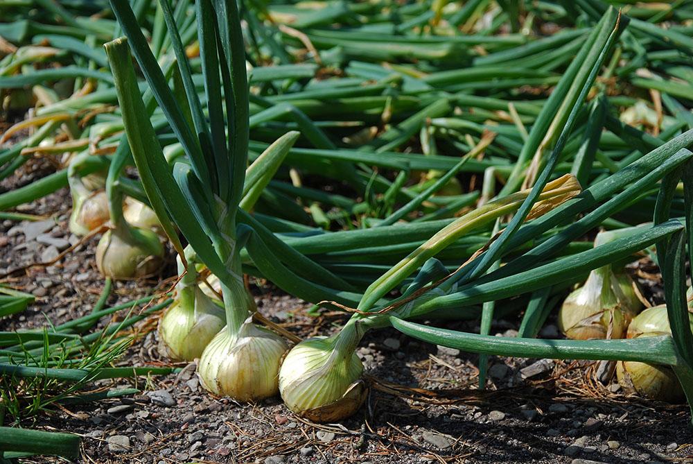 C mo plantar cebolla el huerto urbano for Lavanda cultivo o cuidados