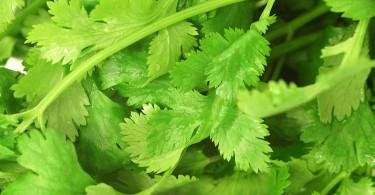 Cómo plantar cilantro en nuestro jardín de aromática