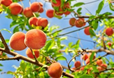Cómo plantar un melocotonero en tu jardín
