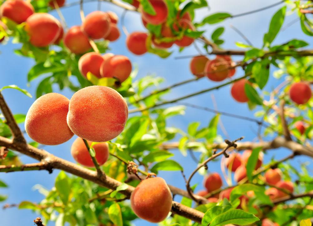 C mo plantar un melocotonero y una nectarina el huerto for Viveros de arboles frutales en chihuahua