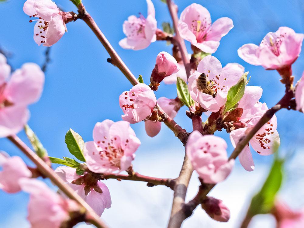 La flor del melocotón tiene un color rosa pálido