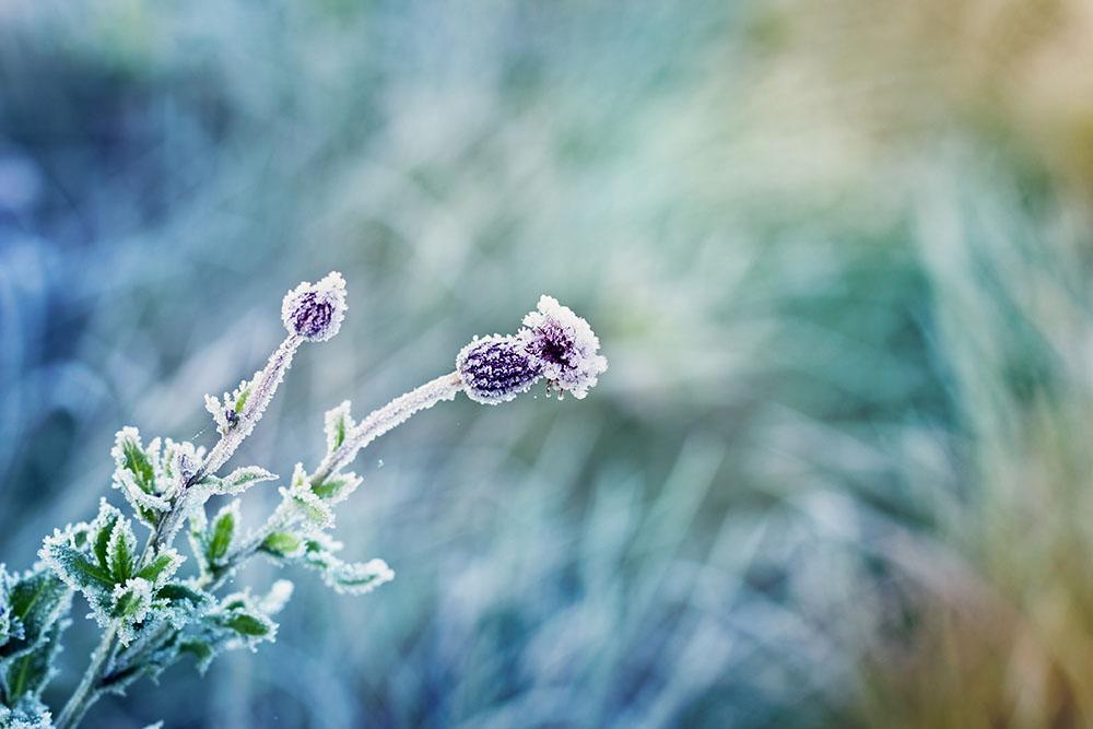 Las heladas duraderas pueden ser letales para nuestras plantas