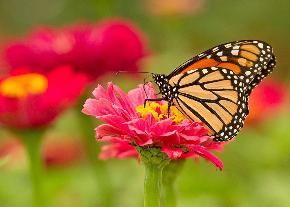 Las mariposas proporcionan una gran belleza a nuestro jardín
