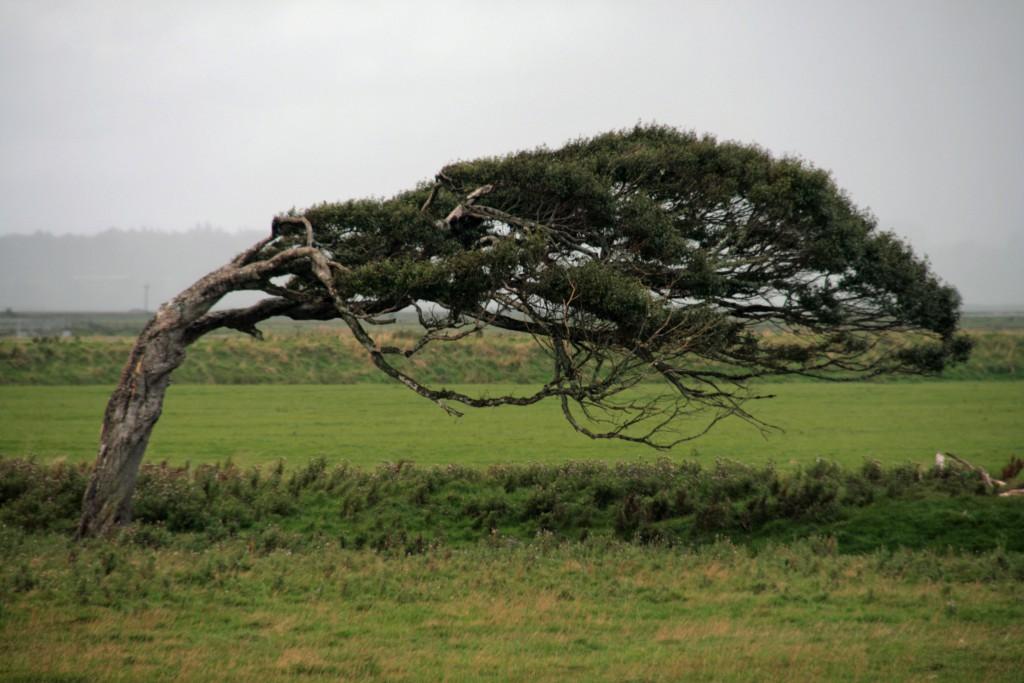 El viento impide que las plantas leñosas, árboles y arbustos se desarrollen  con normalidad