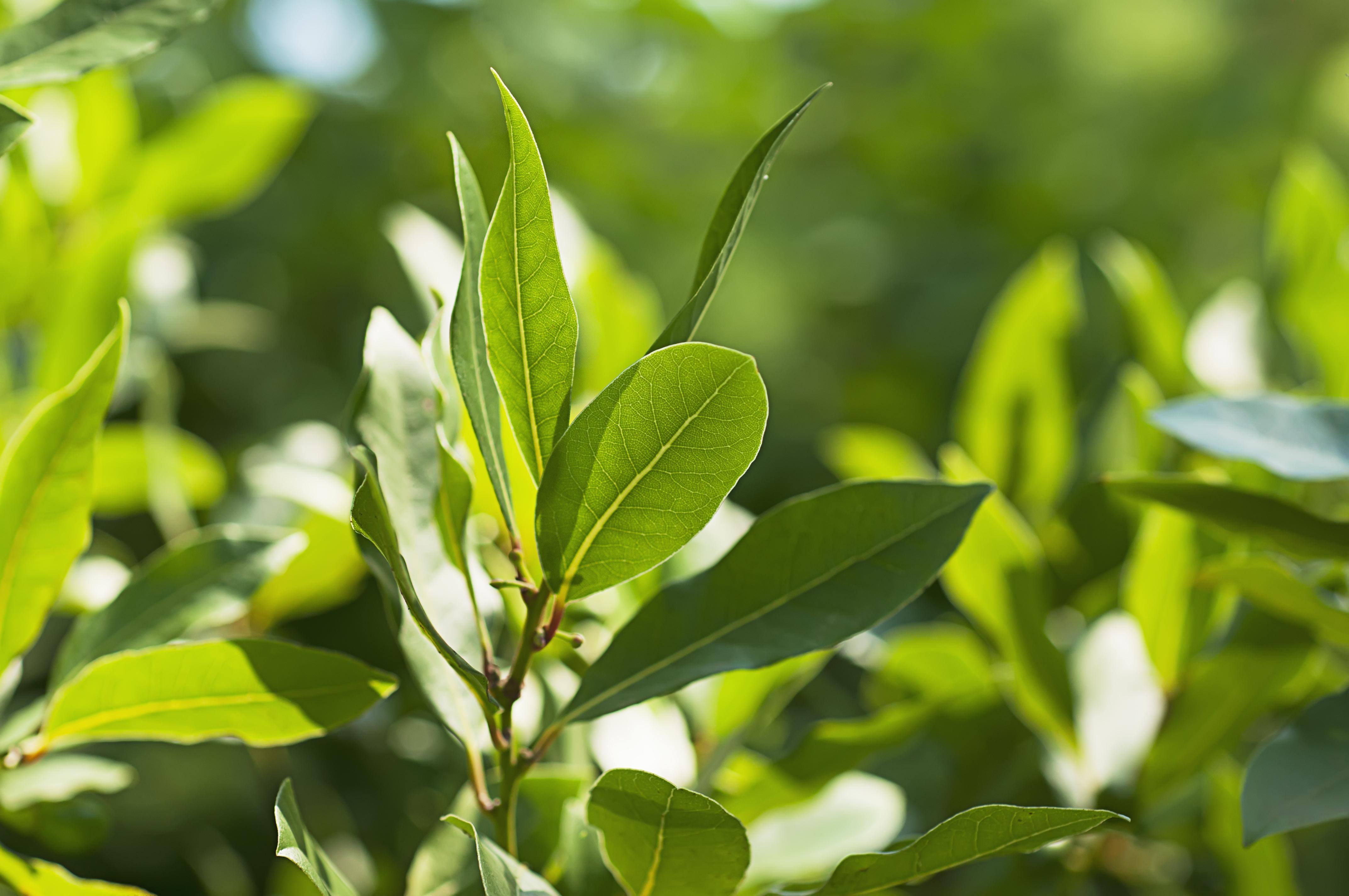 El laurel es una planta arom tica perenne de porte arbustivo for Como cultivar plantas ornamentales