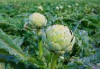 Cómo plantar alcachofa