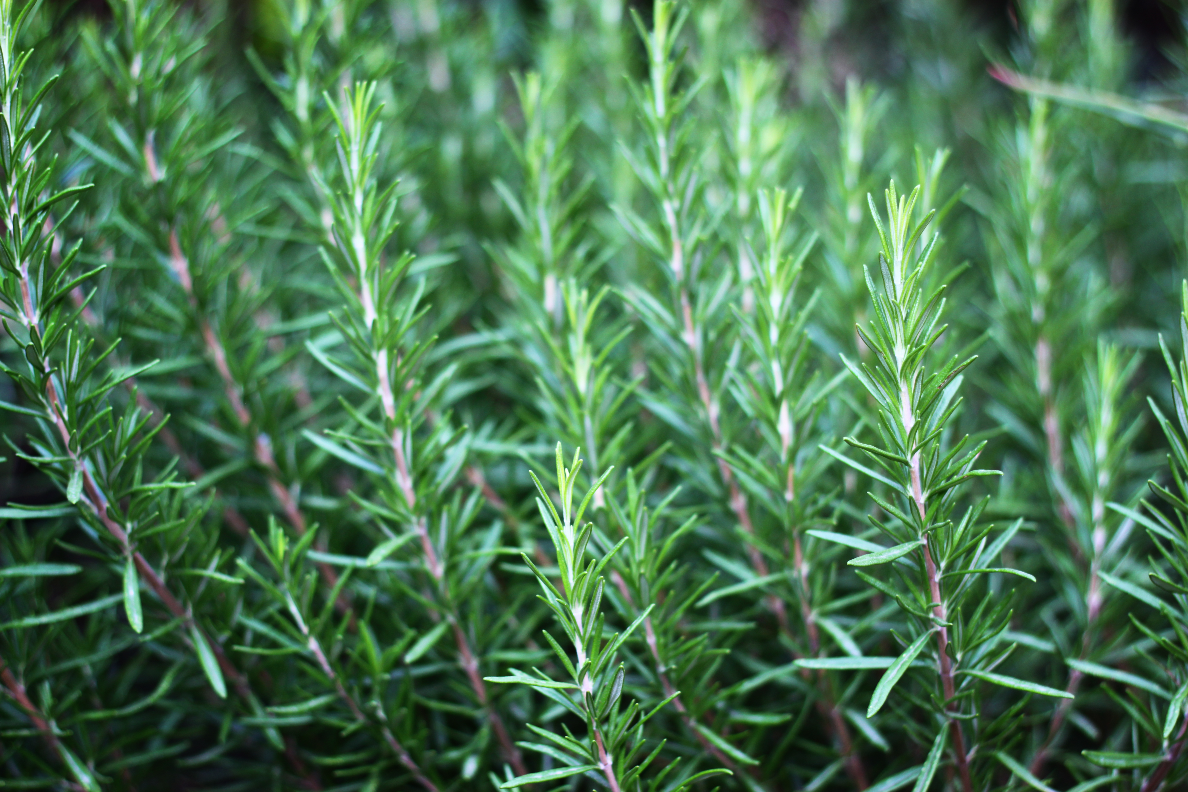 C mo plantar romero - Cultivar plantas aromaticas en casa ...