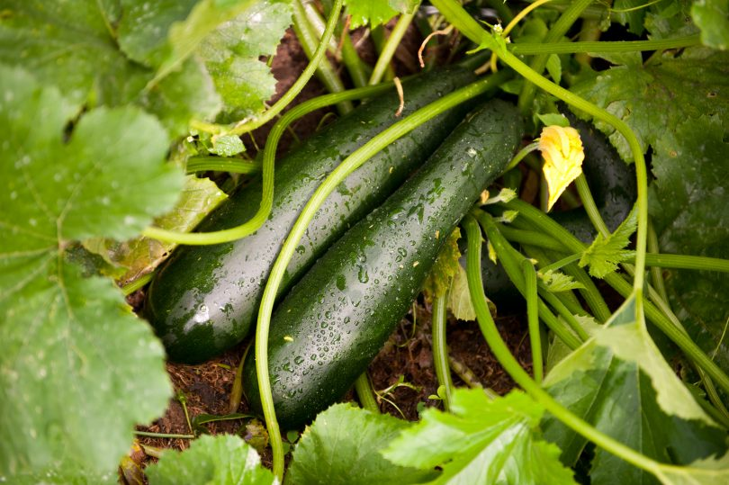 Cómo plantar calabacin