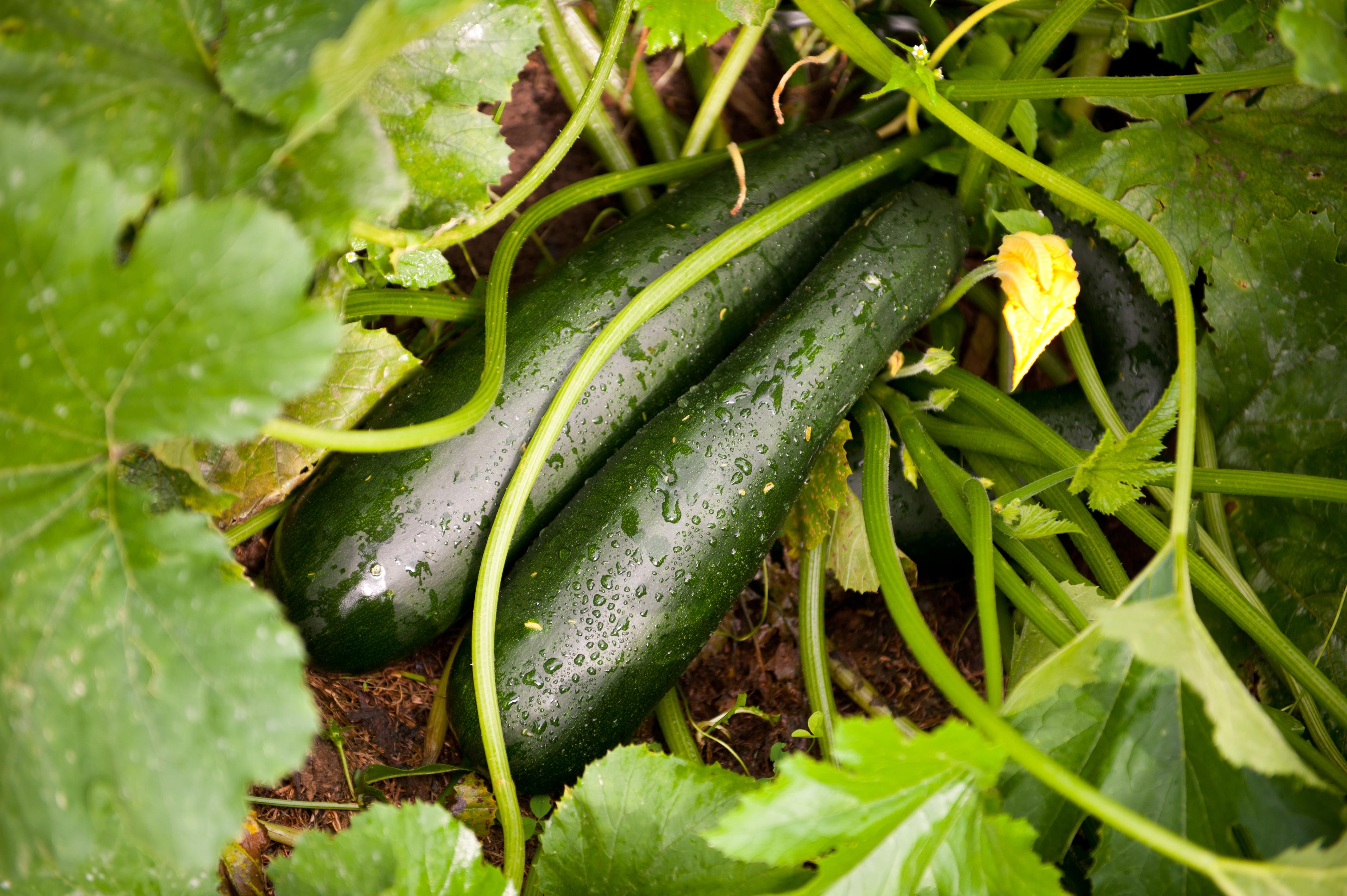 C mo plantar calabac n es una hortaliza muy nutritiva y baja en calor as - Como se planta el bambu ...